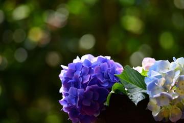 紫陽花、新緑、初夏、ガーデニングイメージ素材