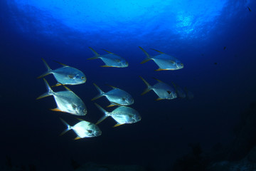Fish underwater. Pompano fish in ocean