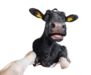 Funny cow lying isolated on a white background. Black and white cow close up. Farm animal.