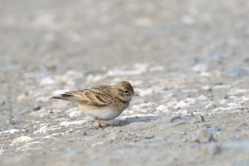Greater short-toed lark on the ground
