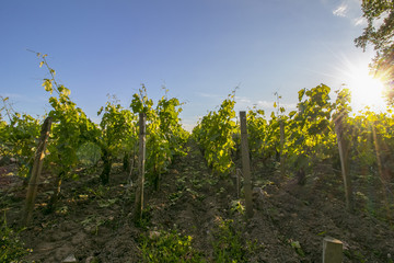 Rows of vine, one spring evening, with sunset.