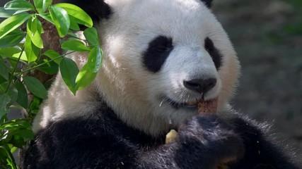 Wall Mural - Giant Panda eating bamboo. 4K, UHD