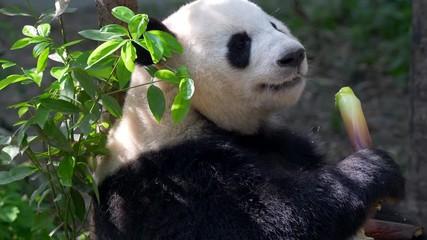 Wall Mural - Giant Panda eating bamboo. Chengdu, China.