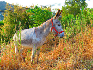 Tethered donkey on grassy hill