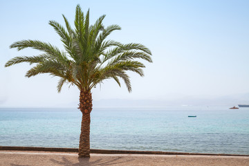 Palm tree grows on Aqaba beach, Jordan