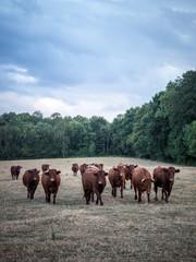 Vaches en groupe