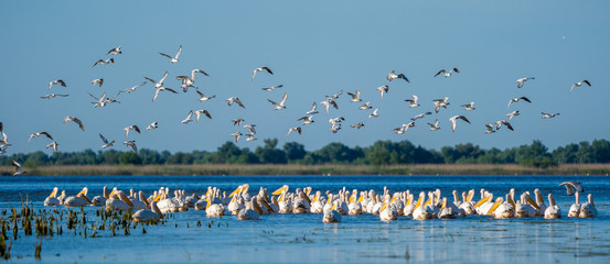 Birdwatching in Danube Delta. The Great White Pelican colony at Fortuna Lake panoramic view