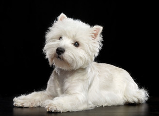 West highland white terrier Dog  Isolated  on Black Background in studio Wall mural