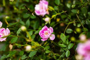 ピンクのミニバラ