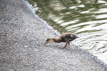 Children's duck