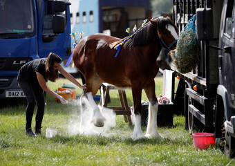 A woman applies talcum powder to the feet of a Shire Horse ahead of judging at the Royal Cheshire County Show near Tabley