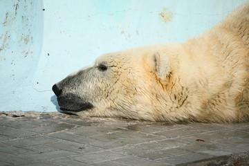 Printed roller blinds Polar bear Lazy polar bear