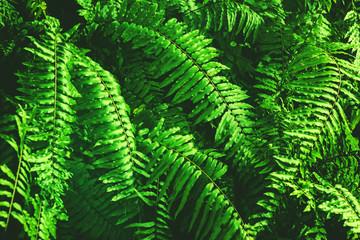 Fresh green fern leaves background