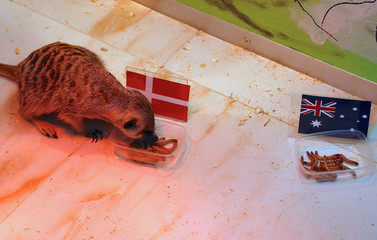 A meerkat named 'Timon' eats from a container labelled with the national flag of Denmark during an event at a zoo in the Russian city of Samara