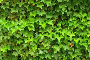 Grüner Efeu mit braunen Blättern