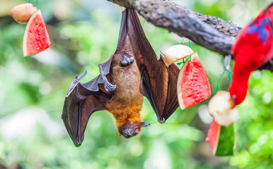 Megabat Flying-fox resting on a tree branch near with watermelon on Zoo