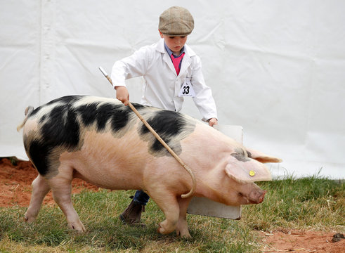 A boy shows a Gloucestershire Old Spot pig during judging at the Royal Cheshire County Show near Tabley