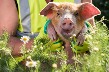 Funny farmer in Santa Claus hat, sunglasses, reflective jacket with green gloves, is bathed by piglet in tank for watering garden among blooming chamomiles. 2019 year of yellow pig, Christmas Eve