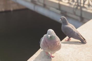 pair of Street piegons Columba livia on a bridge