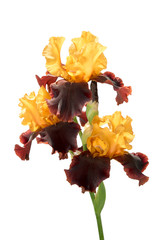 group of three rare color yellow and brown iris flowers on a stem isolated on white background