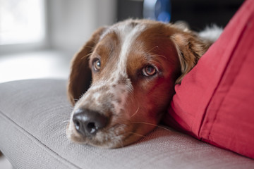 Portrait of cute young Welsh Springer Spaniel dog resting on a sofa. Selective focus on dog's eye