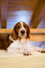 Portrait of cute young Welsh Springer Spaniel dog resting on a bed under wood paneled roof