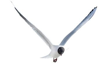 black-headed isolated gull in flight