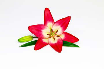 Close up of Red lily flower on white background