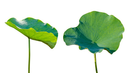 Wall Mural - Lotus leaf Isolate 2 collection of white background