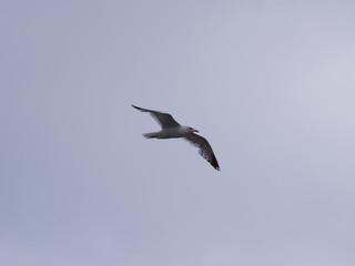 Сизая чайка в полете
