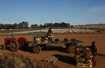 Farm workers off-load carrots from a tractor at a farm in Eikenhof, near Johannesburg