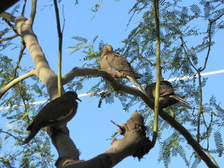 Mourning doves (Zenaida macroura) in a palo verde tree in Arizona with blue sky in the background