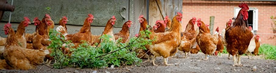 Hahn und Hühner auf einem alten Bauernhof, Banner