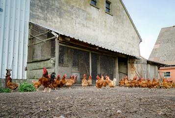 Große Schar Hühner auf einem alten Bauernhof