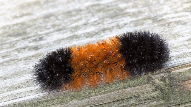 Orange & black striped woollybear caterpillar, Pyrrharctia isabella, close up with its spines & secretions. Thought to predict the severity of the coming winter. They become Isabella Tiger Moth