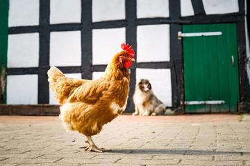 Bio-Landwirtschaft  - braunes Huhn auf dem Hof eines alten Bauernhofes