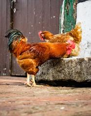 Henne und Hahn vor einer alten Dielentür