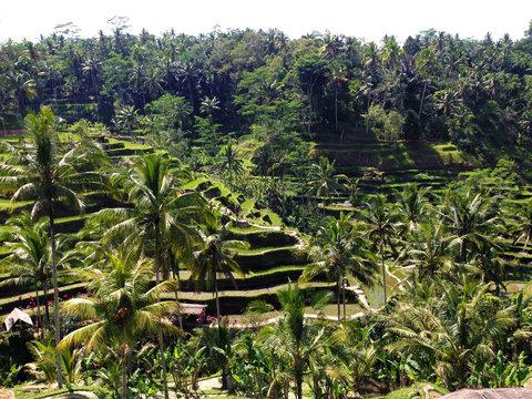 Tegalalang Rice Terrace in Ubud, Bali, Indonesia