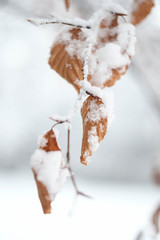 Leaves with snow in winter