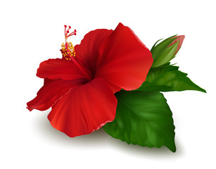 Red flower of hibiscus with green leaves and bud isolated on white background. Realistic vector illustration.