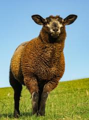 Schwarzes Schaf auf dem Deich, Hochformat