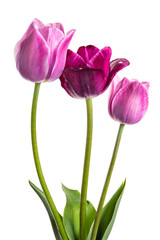 Flowers tulips with lilac-violet hues isolated on white background
