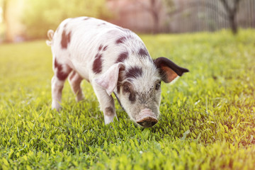 Little pig with black spots walking on green grass