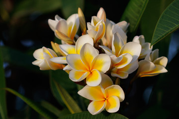 Flowering tree of Plumeria rubra (frangipani) decorating a summer garden