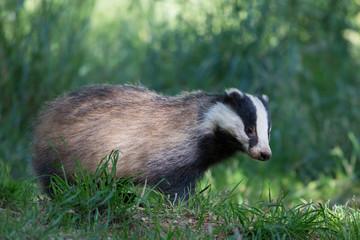 European badger (Meles meles), Dumfries, Scotland