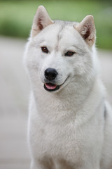 Portrait of a beautiful gray Siberian husky on the background of a field and green grass. Portrait of a dog on a natural background.