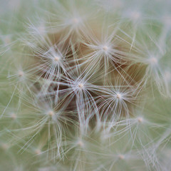 Macro photo of dandelion