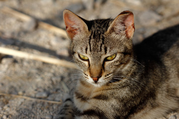 Portrait of feral striped cat in the countryside