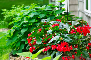 Red Begonia Flowers in a garden setting with other green plants