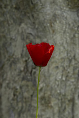 Red poppy against the background of a tree